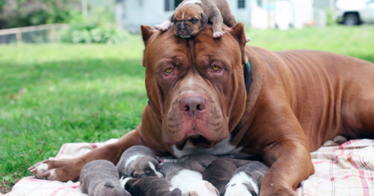 giant pit bull gives birth to litter of puppies they re worth 500 000